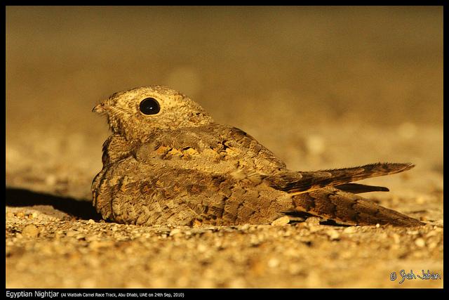 Egyptische nachtzwaluw